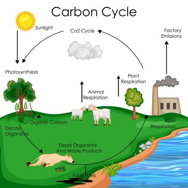Photosynthesis role in the Carbon Cycle